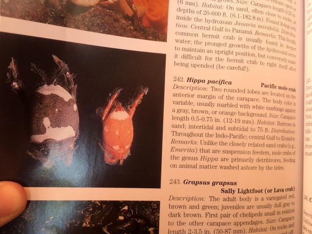 mole-crab-pic